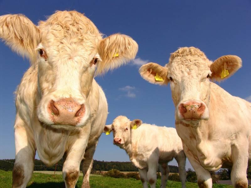 animals-bovine-close-up-33550